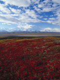 Bear Berries, Mt. Mckinley, AK Photographic Print by John Luke