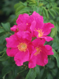 Wild Roses Photographic Print by Kindra Clineff