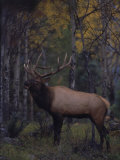 Bull Elk in Aspens Photographie par D. Robert Franz