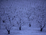 Fruit Orchard in Snow, Orem, UT Photographic Print by John Telford