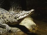 Cuban Crocodile, Bronx Zoo, NY Fotografie-Druck von Rudi Von Briel