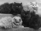 Four Blue Persian Cats Lie Comfortably Photographic Print