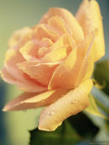 Yellow Rose Photographic Print by Kevin Kuenster