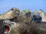 Elephant Seals, Antarctica Photographic Print by Ernest Manewal