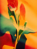 Single Tulip Photographic Print by Lonnie Duka