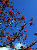 Close-up of Flame Tree with Sky Photographic Print by Michele Burgess
