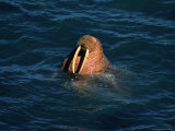 Male Walrus Swimming in Alaskan Waters Photographic Print by Frank Staub