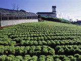 Lettuce Plantation, Teresopolis, Brazil Photographic Print by Silvestre Machado