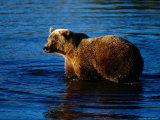 Grizzly Bear, Ursus Arctos Middendorffi Photographic Print by D. Robert Franz
