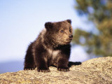 Brown Bear Cub Sitting on Rock Fotografie-Druck von Elizabeth DeLaney