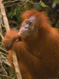 Sumatran Orangutan, Pongo Pygmaeus Photographic Print by D. Robert Franz