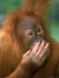 Adolescent Sumatran Orangutan, Indonesia Photographic Print by D. Robert Franz