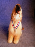 Afghan Hound Wearing a Medal Photographic Print by Jim McGuire