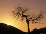 Cottonwood Tree Silhouetted with Sunrise Photographic Print by Russell Burden