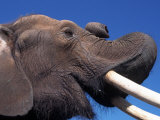 African Elephant Photographic Print by Don Grall