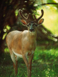 Key Deer, Big Pine Keys, FL Photographic Print by Pat Canova