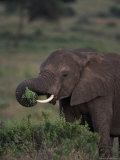 African Elephant, Luxodonta Africana, Tanzania Photographic Print by D. Robert Franz