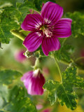 Northern Island Tree Mallow in Bloom, CA Photographic Print by Jeff Greenberg