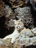 Mountain Lion on Rocky Bluff Photographic Print by Guy Crittenden