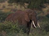 African Elephant, Tanzania Photographic Print by D. Robert Franz