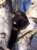 Wolverine in Tree, Gulo Luscus, AK Photographic Print by D. Robert Franz