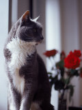 Cat Near Window with Roses in Background Photographic Print by Debra Cohn-Orbach