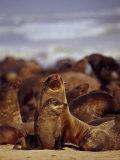 Cape Fur Seals, Arctocephalus Pusillus Photographic Print by Stuart Westmorland