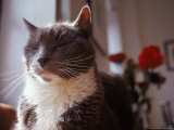 Cat with Eyes Closed with Roses in Background Photographic Print by Debra Cohn-Orbach
