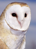 Barn Owl Photographic Print by Russell Burden