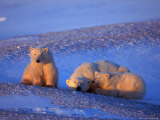 Polar Bear &amp; Cubs, Thalarctos Maritimus Photographie par D. Robert Franz