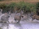 Burchell's Zebras, Equus Burchelli, Tanzania Photographic Print by D. Robert Franz