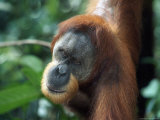 Male Sumatran Orangutan, Pongo Pygmaeus, Indonesia Photographic Print by D. Robert Franz