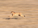 Cheetah Sprinting Across Grasslands Photographic Print by Don Grall