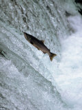 Sockeye Salmon Spawning, Katmai National Park, AK Fotoprint van Stuart Westmorland