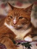 Orange Tabby Cat Fotografie-Druck von Rudi Von Briel