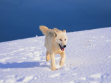 Arctic Wolf, Canis Lupus Arctos Photographic Print by Lynn M. Stone