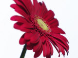 Red Flower on White Background Photographic Print by Jim McGuire