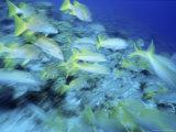 Yellowtail Snappers Fotografisk tryk af Karen Schulman