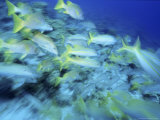 Yellowtail Snappers Photographic Print by Karen Schulman