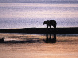 Grizzly Bear, Dawn, Ursus Arctos Middendorffi, AK Photographic Print by D. Robert Franz