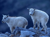 Mountain Goats on Mt. Evans, CO Photographic Print by Don Grall