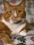 Orange Tabby Cat Photographic Print by Rudi Von Briel