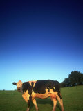Cow, UK Photographic Print by Peter Adams