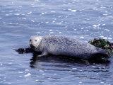 Harbor Seal Resting on Rocks, Phoca Vitulina, CA Photographic Print by Elizabeth DeLaney