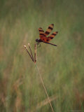 Close-up of Dragonfly on Blade of Grass, FL Photographic Print by Pat Canova