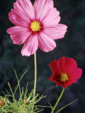 Mixed Cosmos Flowers Photographic Print by Russell Burden