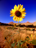 Wild Sunflower Along Dirt Road, SD Photographic Print by John Coletti