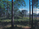 Gulf Coast Pine Flatwoods Photographic Print by Jeff Greenberg