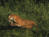 Bengal Tiger, Panthera Tigris, Endangered Species Photographie par D. Robert Franz
