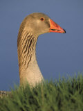 Greater White-Fronted Goose, Anser Albifrons Photographic Print by Kyle Krause